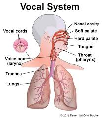 vocal chords